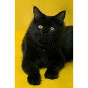 Кот породы мей-кун фото