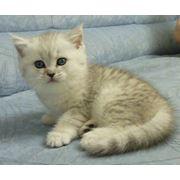 Котята британские фото