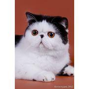 Экзотические коты фото