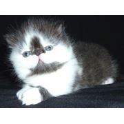 Котенок биколор дымный с белым фото