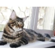 Котята мейн-кун-самой большой кошки в мире. фото