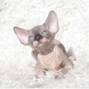 Котята канадский сфинкс Talialida Blynken фото