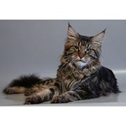 Коты породы мейн кун. фото