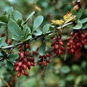 Барбарис обыкновенный Berberis vulgaris фото