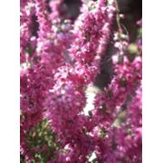 Вересковые растения фото