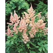 Астильба Персиковый цвет (Пакет) фото