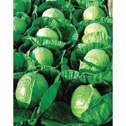 Семена капусты белокачанной фото