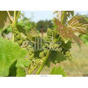 Саженцы винограда фотография