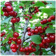 саженцы вишни фото