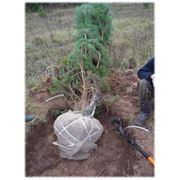 Дерево сеянец фото