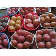 Семена картофеля. фото
