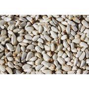 Семена сафлора белые фотография