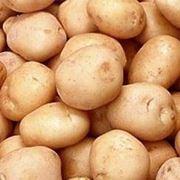 Картофель (розовый) фото