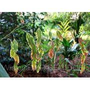 Плоскоколосник широколистный (Chasmanthium latifolium) фото