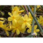 Жасмин голоцветковый — Jasminum nudiflorum Lindl фото