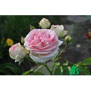 Роза Иден Роуз. фото