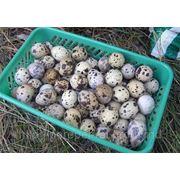 Контейнеры для перепелиных яиц фото