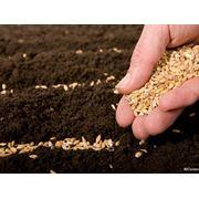 Семена тритикале фото