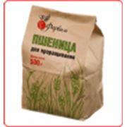 Пшеница для проращивания фото
