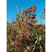 Семена суданской травы фото
