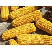 Семена кукурузы юбилейный 390 МВ. фото