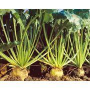 Семена сахарной свеклы гидриды фото