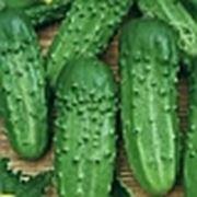 Семена огурца-Каскадер F1 фото