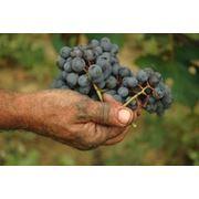 Консультации по выращиванию виноградников фото