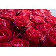Эквадорская роза фото