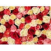 Роза Эквадор Микс 4 фото