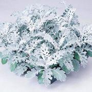 Цветы Цинерарии. фото