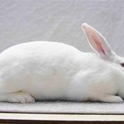 Племенное поголовье кроликов акселератов Термонськой породы фото