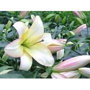 Лилии ЛА гибриды в розницу и оптом фото