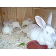 Кролики на продажу фото