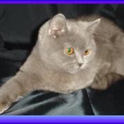 Питомник британских кошек Голубой тигр предлагает очаровательных плюшевых котят медвежьего типа фото