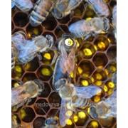 Пчеломатки карпатка фото