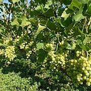 Черенки винограда, виноград : Аркадия(Настя), саженцы винограда фото