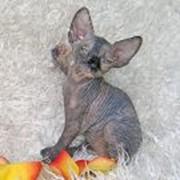 Котята канадский сфинкс Talialida Nod фото