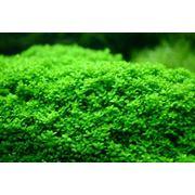 Аквариумные растения фото