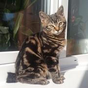 Котята Курильского бобтейла от титулованных кото-родителей фото