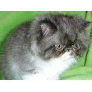 Персидский котенок чистокровный из питомника фото