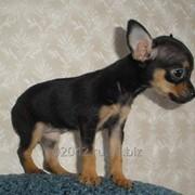 Вязка собак породы русский тойтерьер фото