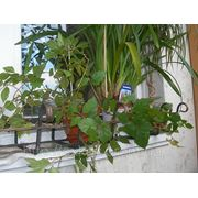 Озеленение балкона террас фото