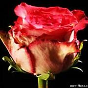 Роза Lulu1 фото