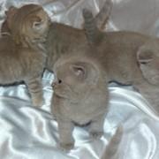 Чистокровные британские котята фото