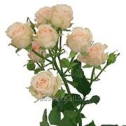 Розы спрей фото