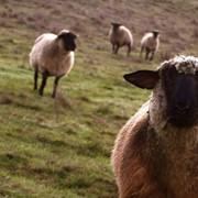 Животные мясомолочные фото