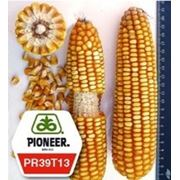 Семена кукурузы пионер ПР39Т13 / PR39Т13 ФАО 250 фото