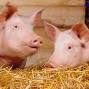 Свиньи мясных пород, купить свинью, купить свиней фото