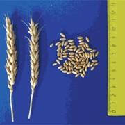 Семена Пшеница озимая сорт Джангаль фото